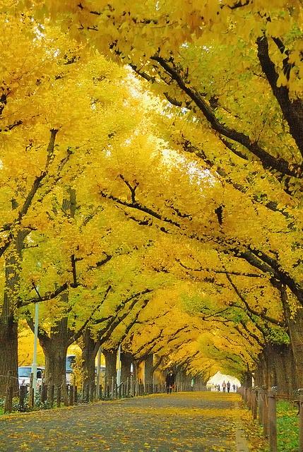 Gingko Avenue at Meiji-Jingu Gaien, Tokyo