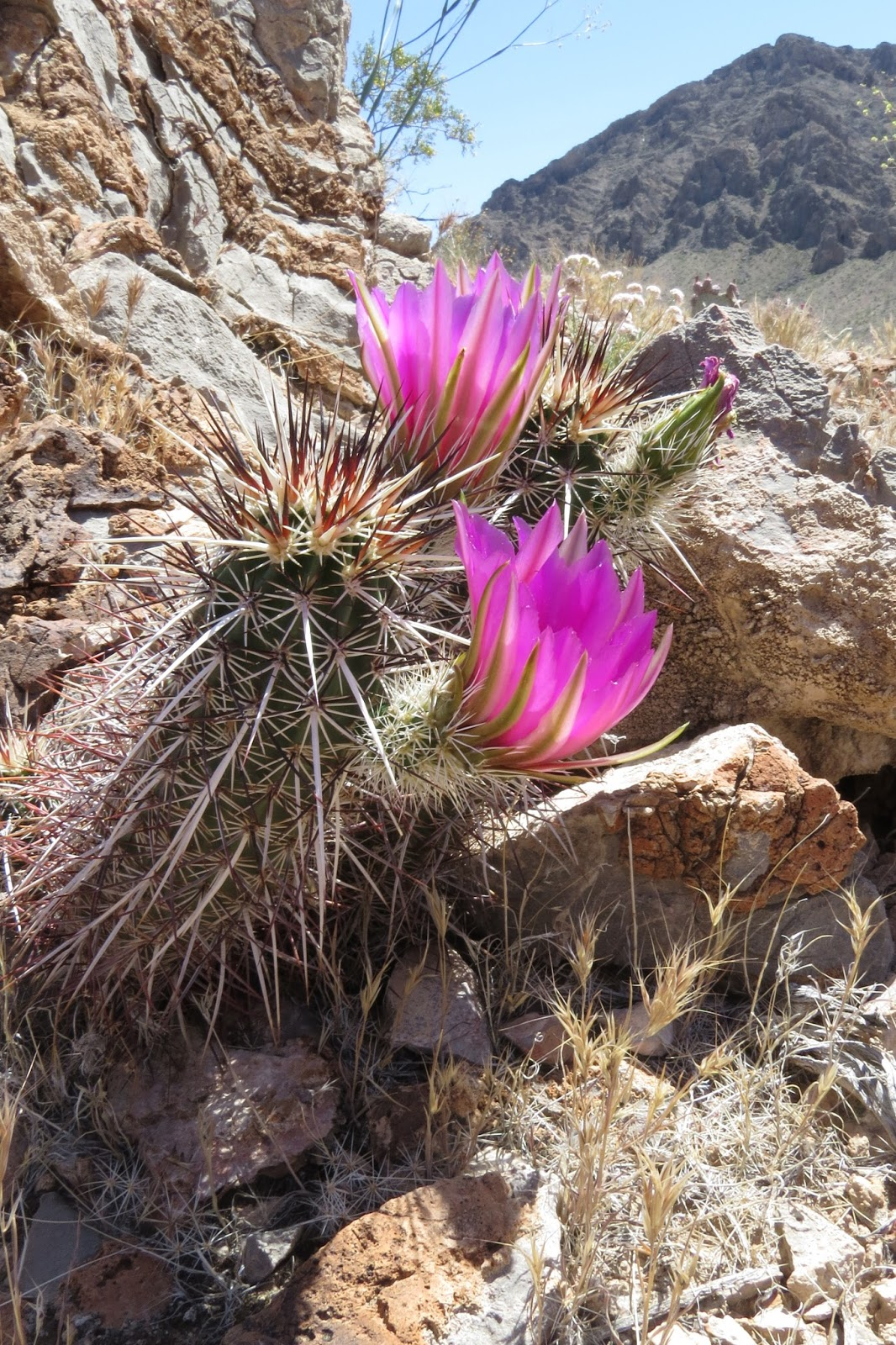 Valley of Fire State Park flowering cactus