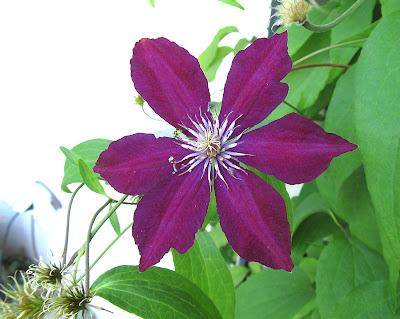 Annieinaustin,red-purple clematis