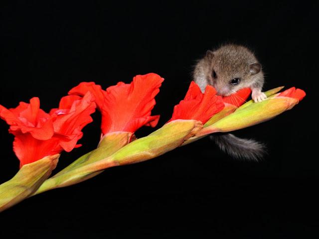 Drzewiórki, hodowla Graphiurus murinus, Popielica afrykańska, sprzedam popielice, sprzedaż popielic, Pilch afrykański, pilchy, Mikro wiewiórka,