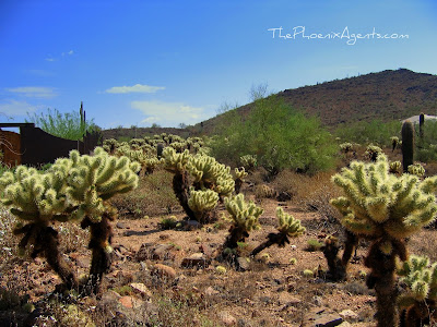 "a field of cholla ""jumping"" cactus"