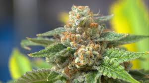 Marijuana.