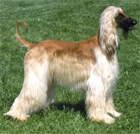 Afghan Hound, Dog Temperament, Dog Care, Dog Health