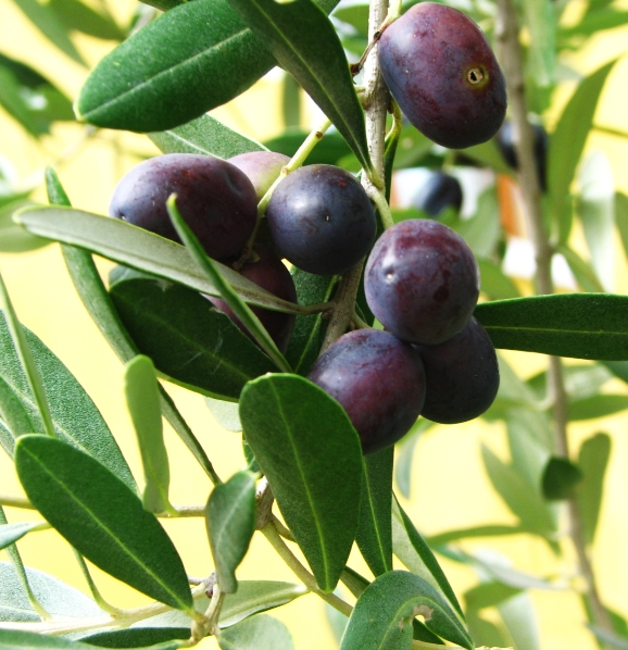 A variety of olives are mixed together to produce the extra virgin olive oil. Photo: Rainer Deml, WikiMedia.org.