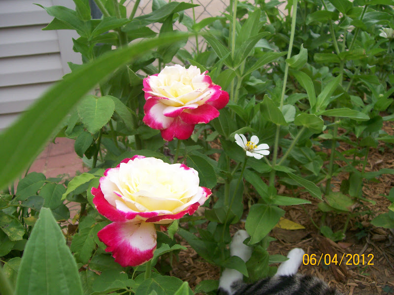 Garden Delight Rose Double Delight Rose Has a Very