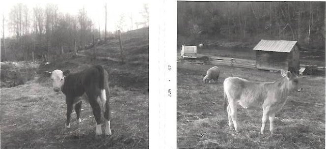 Red Hill cows in 1960