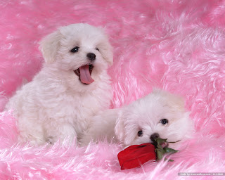 Maltese puppies Wallpapers