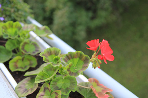Punainen kotipelargoni kukka parvekelaatikko