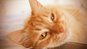 Download this Free Cat Face HD Wallpaper as the Desktop Background Image for . cat face wallpaper