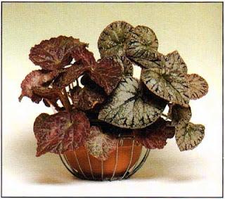 Бегония королевская (Begonia rex) меняет узор на листьях от разновидности к разновидности, но все они привлекают четкой графикой рисунка