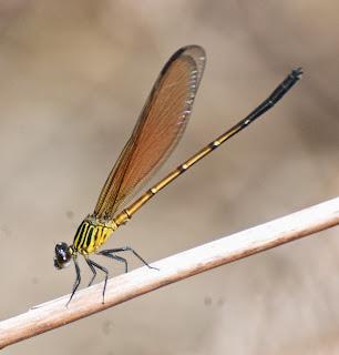 Euphaea ochracea