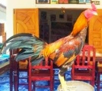 gambar ayam birma