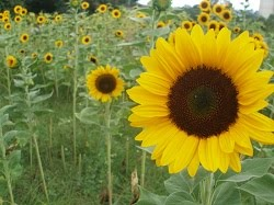 Growing Cut Sunflowers to Sell