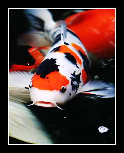 Koi fish for Oldest koi fish