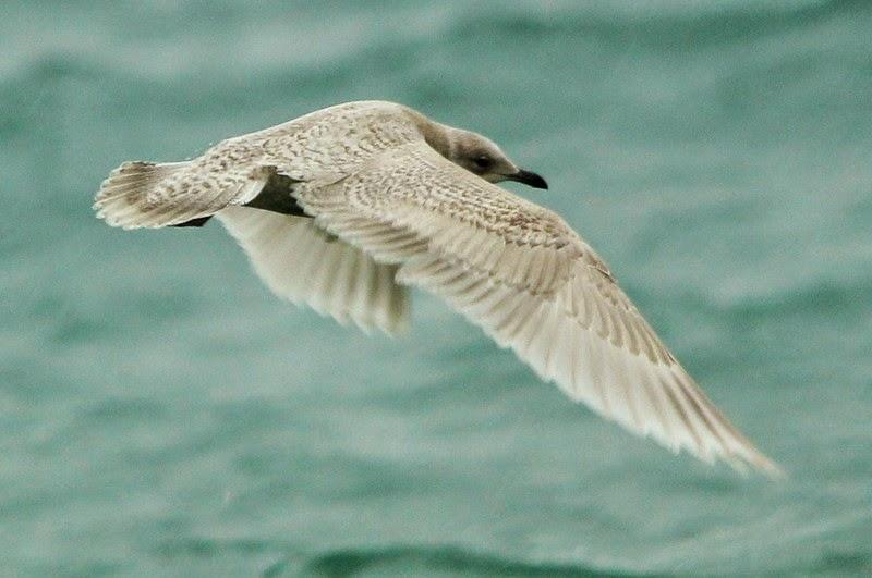 SCILLYSPIDER: Kumlien\'s Gull at Coverack, Cornwall