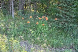 photo of common daylilies blooming