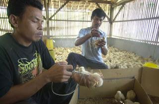 Yang harus diperhatikan saat mengobati penyakit ayam