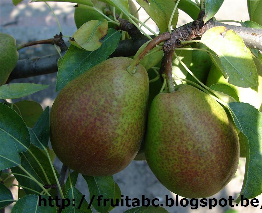 wanneer peren oogsten
