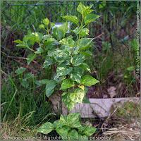 Syringa vulgaris 'Aucubifolia' habit - Lilak pospolity 'Aucubifolia' pokrój