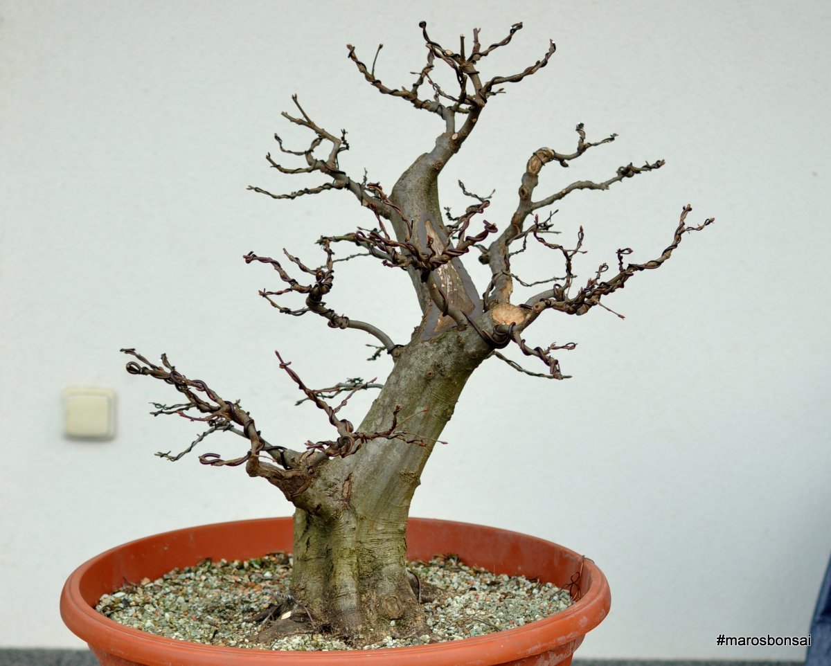 Maros Bonsai Blog Carpinus Betulus No14 QuotOld Samquot