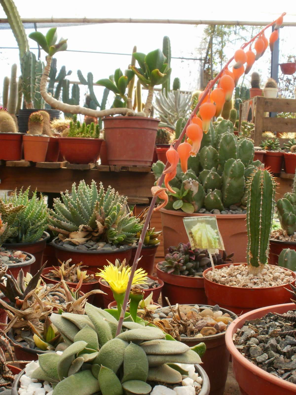Cactario vivero de cactus y crasas en tucum n huincactus for Vivero de cactus