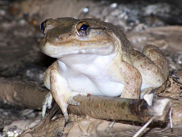13 spesis katak bertaring ditemui di Sulawesi