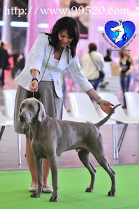 world dog show Paris 2011 GREYSBETH WEIMARANERS