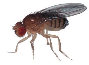 drain fly or phorid fly raleigh pest control