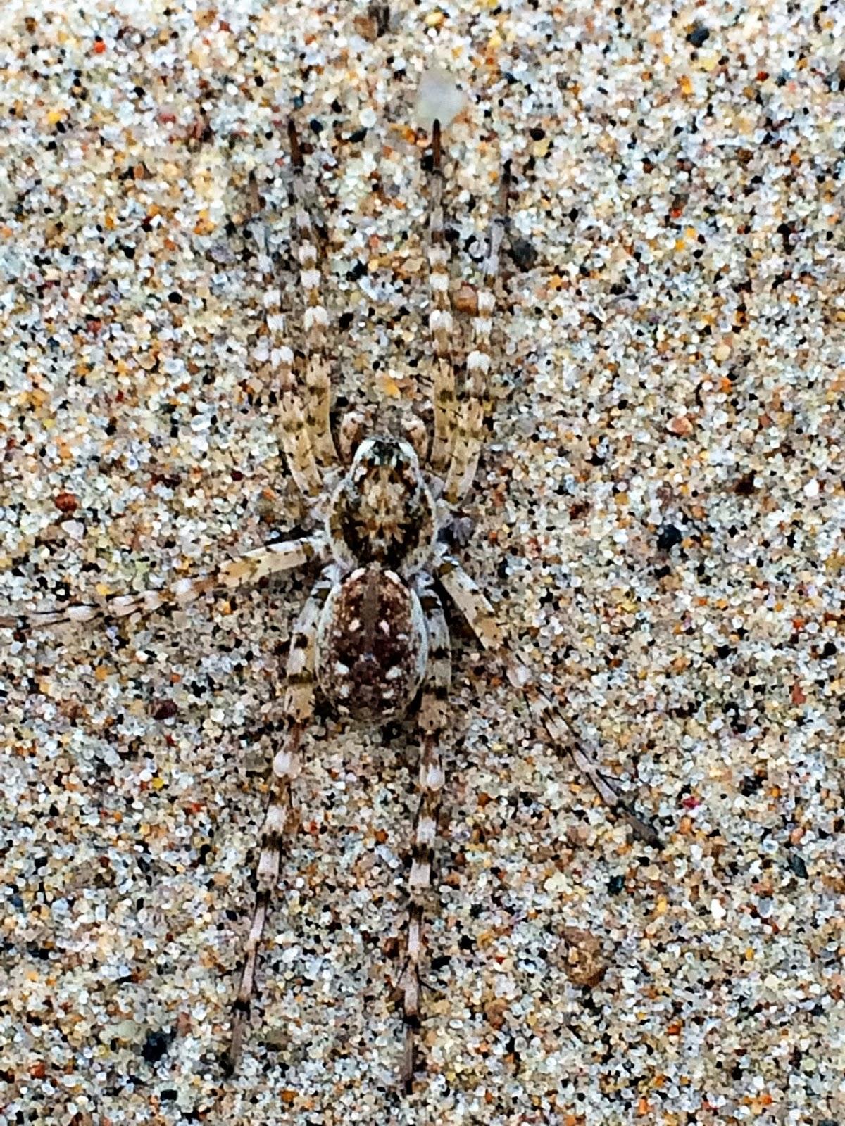 beach spider