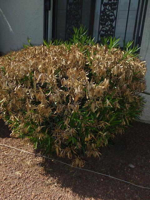 xtremehorticulture of the desert oleander leaf scorch. Black Bedroom Furniture Sets. Home Design Ideas