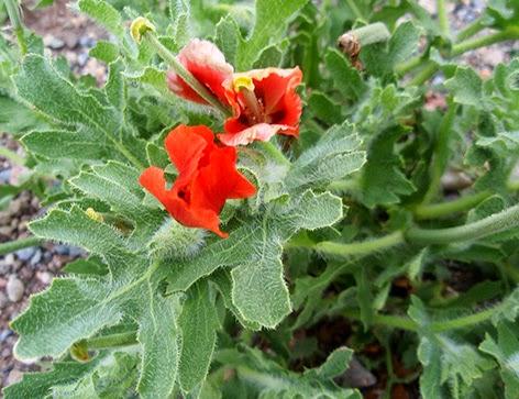 Glaucio rojo, amapola roja (Glaucium corniculatum)