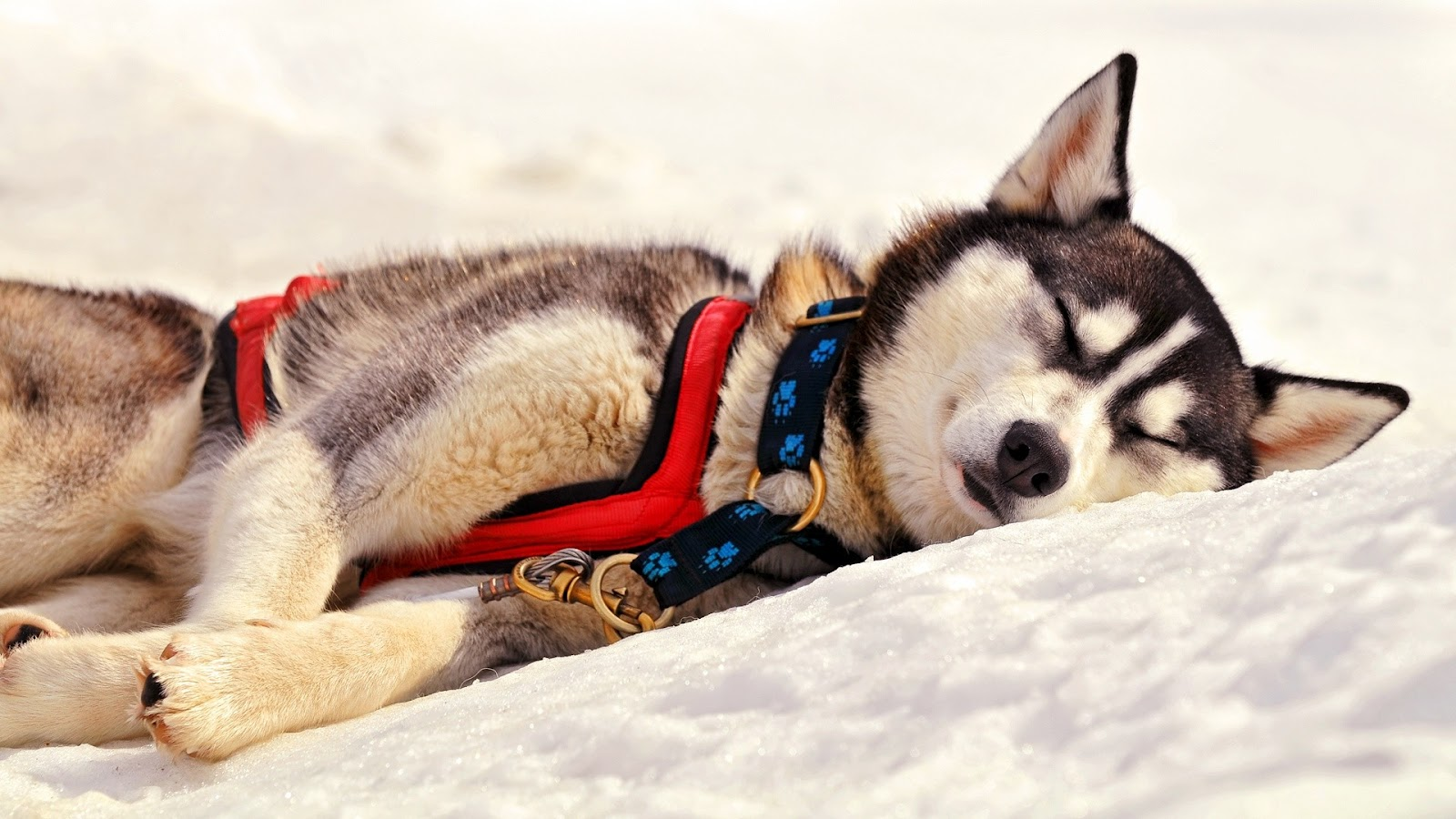 http://2.bp.blogspot.com/-e4ZEn7F5Xgg/UGgnohUZWoI/AAAAAAAAALU/p41DNxOPlcg/s1600/Sleeping-Husky-Dog-on-Snow-HD-Animal-Wallpaper.jpg