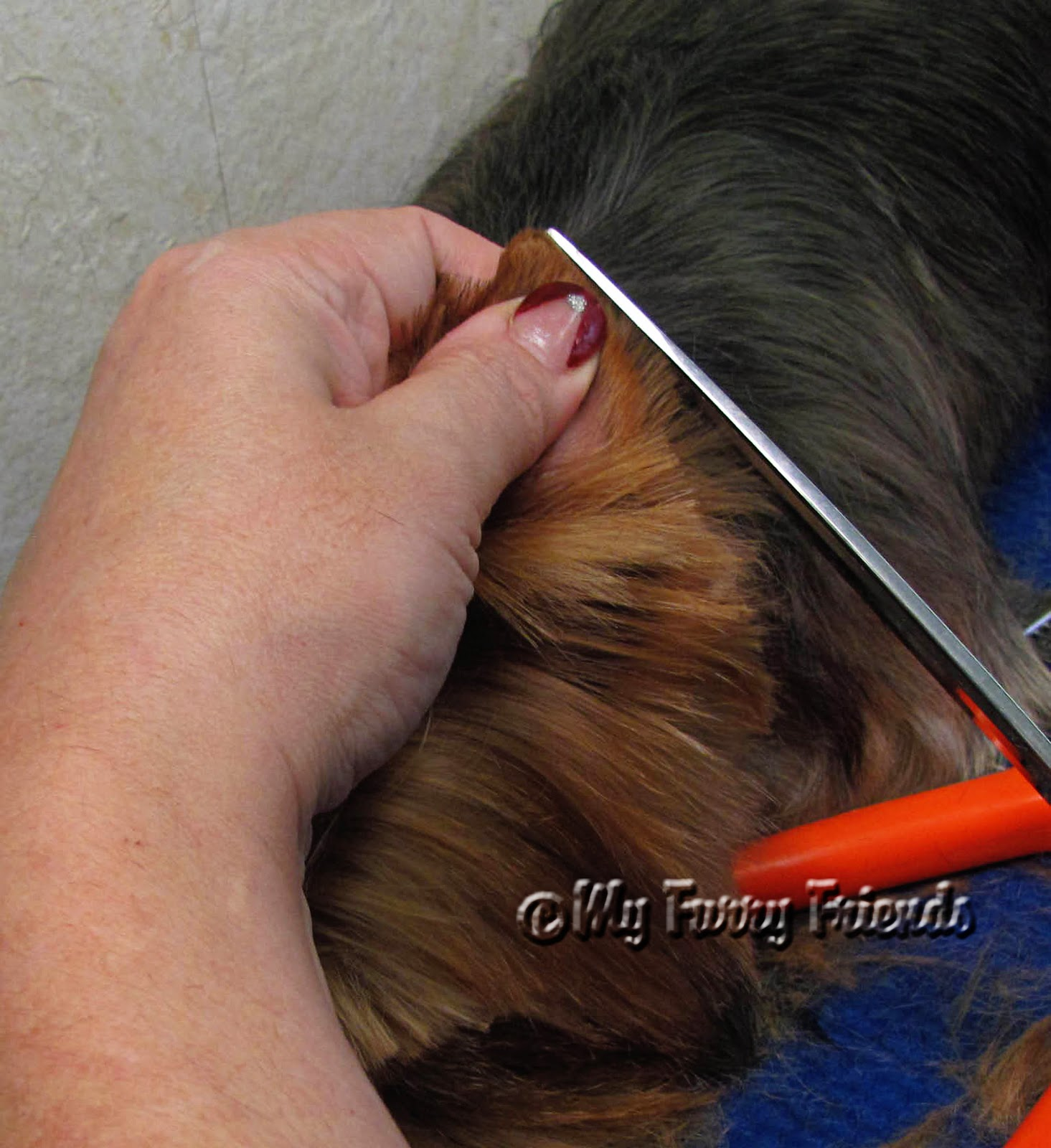 Coloring pictures yorkies - One Of The Worst Cuts That I Ever Did To A Dog Was On A Little Happy Hyper Yorkies Ear