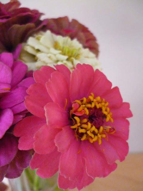 Zinnia Sprite cut flowers Sarah Raven seeds