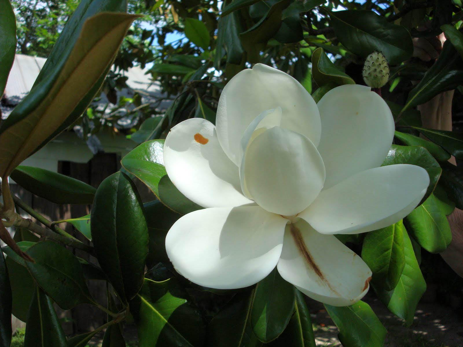 wallpaper: Magnolia Blossom: wallpaperstone.blogspot.com/2012/07/magnolia-blossom.html
