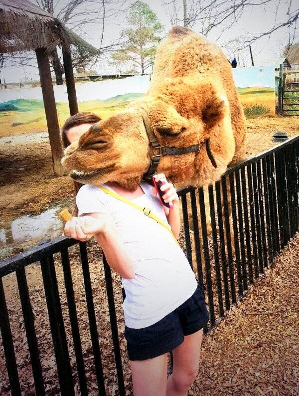 Funny animals of the week - 28 March 2014 (40 pics), camel photobomb