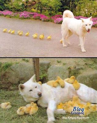 Telatah anjing bersama anak-anak itik