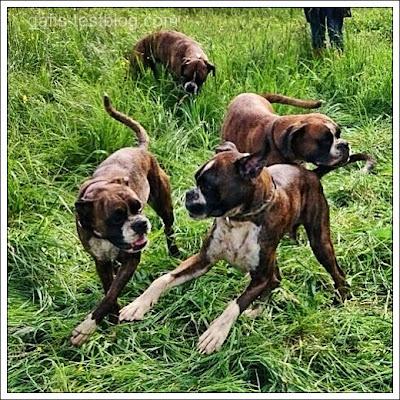 Boxer Amy mit ihren Brüdern