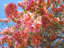 Primavera, essa trepadeira de flores delicadas e cores surpreendentemente belas.