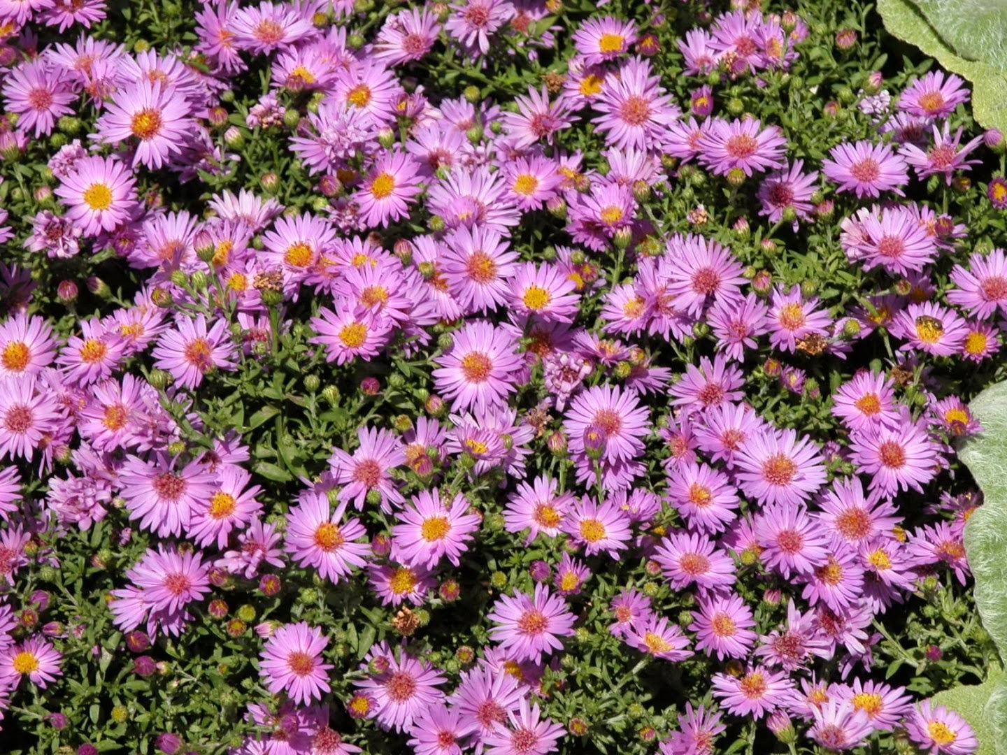 Planting flowers for fall and winter for Popular fall flowers
