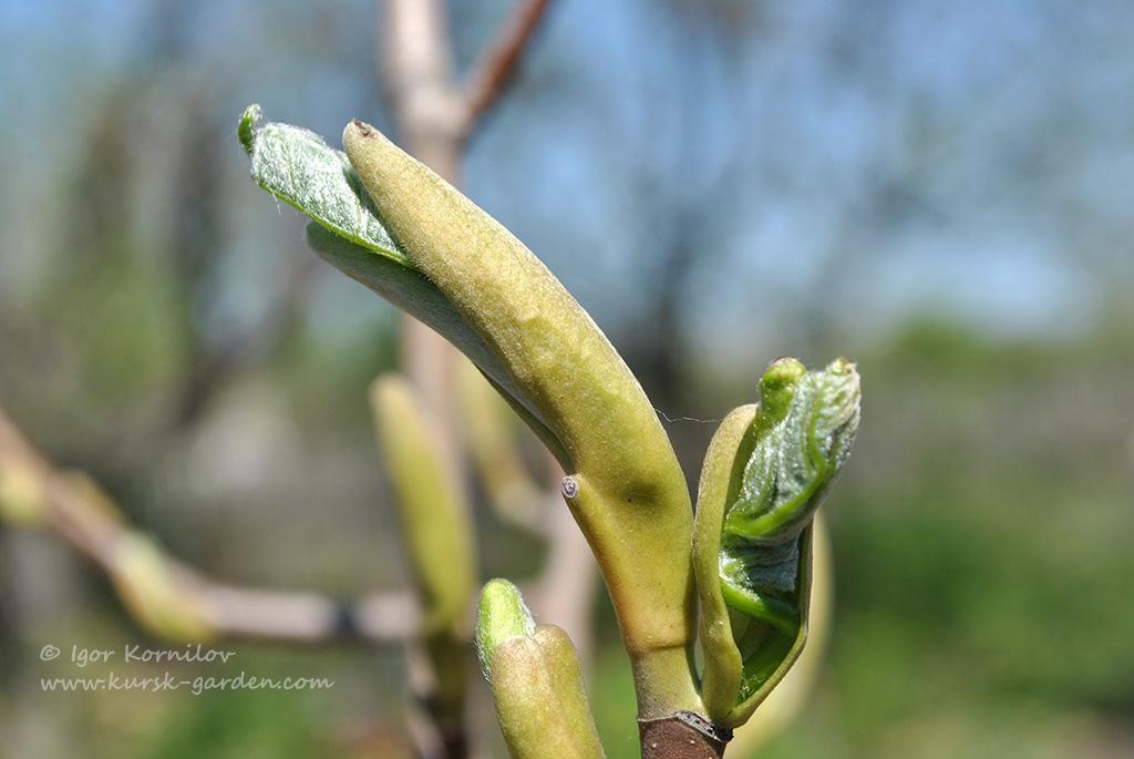 Магнолия заостренная (Magnolia acuminata)