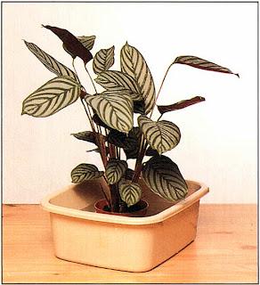 Как только растение оживет, выньте его из тазика и поставьте в прохладное место вдали от прямых солнечных лучей по крайней мере на день