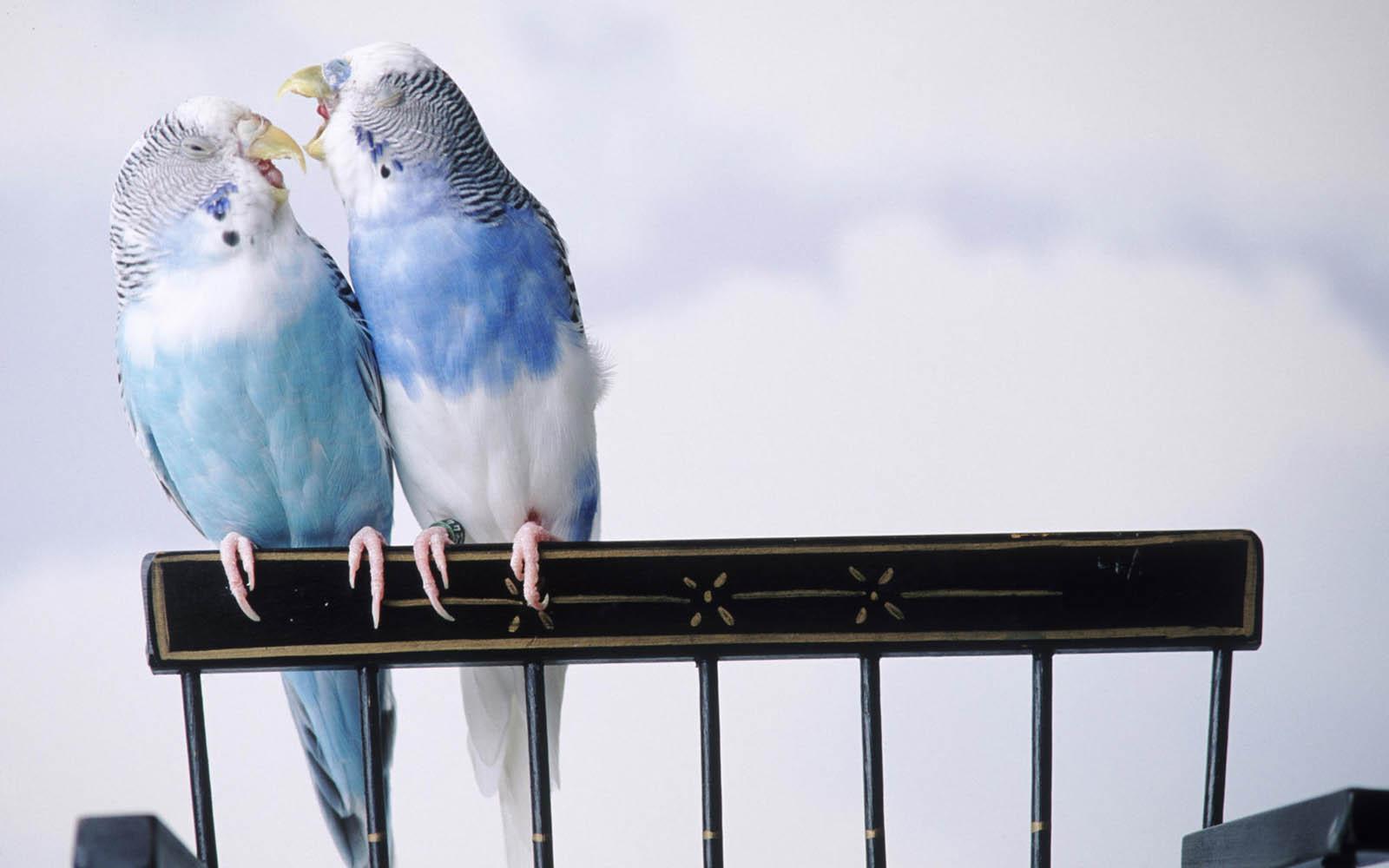 http://2.bp.blogspot.com/-e8B1i-atqHg/USusa4J2GlI/AAAAAAAATvo/JLBR2x-D7gE/s1600/Love+Birds+Desktop+Wallpapers+1.jpg