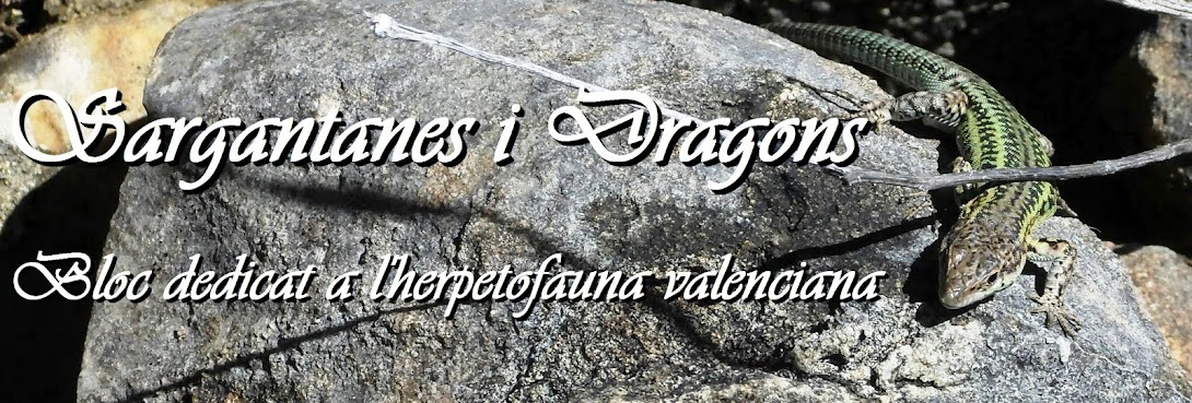 Sargantanes i Dragons