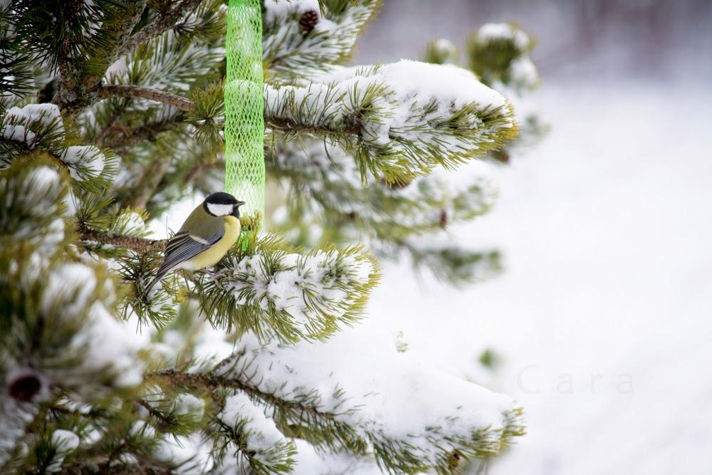 Mésange dans la neige