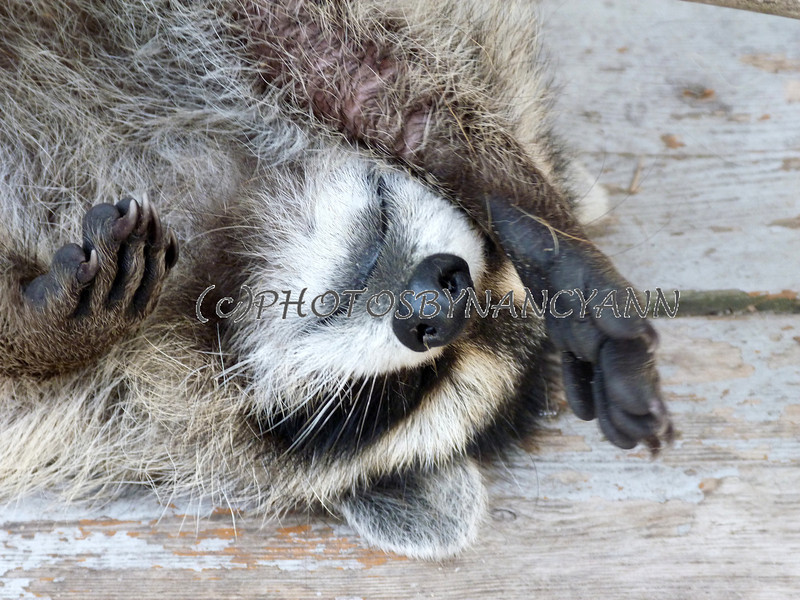 Creative Mind by Nancy Ann: Wild Raccoons as Pets is Not a ... Raccoons As Pets