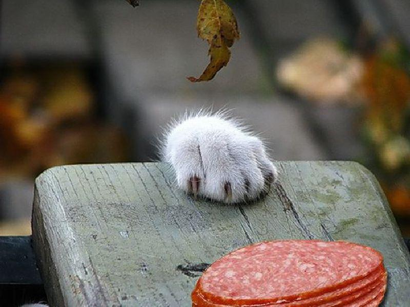 Кот тянется за колбасой