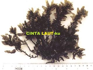 seaweed mycrophyllum