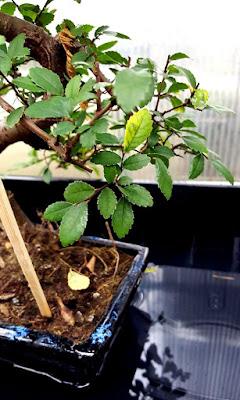 Bonsai tropical, ulmus parvifolia