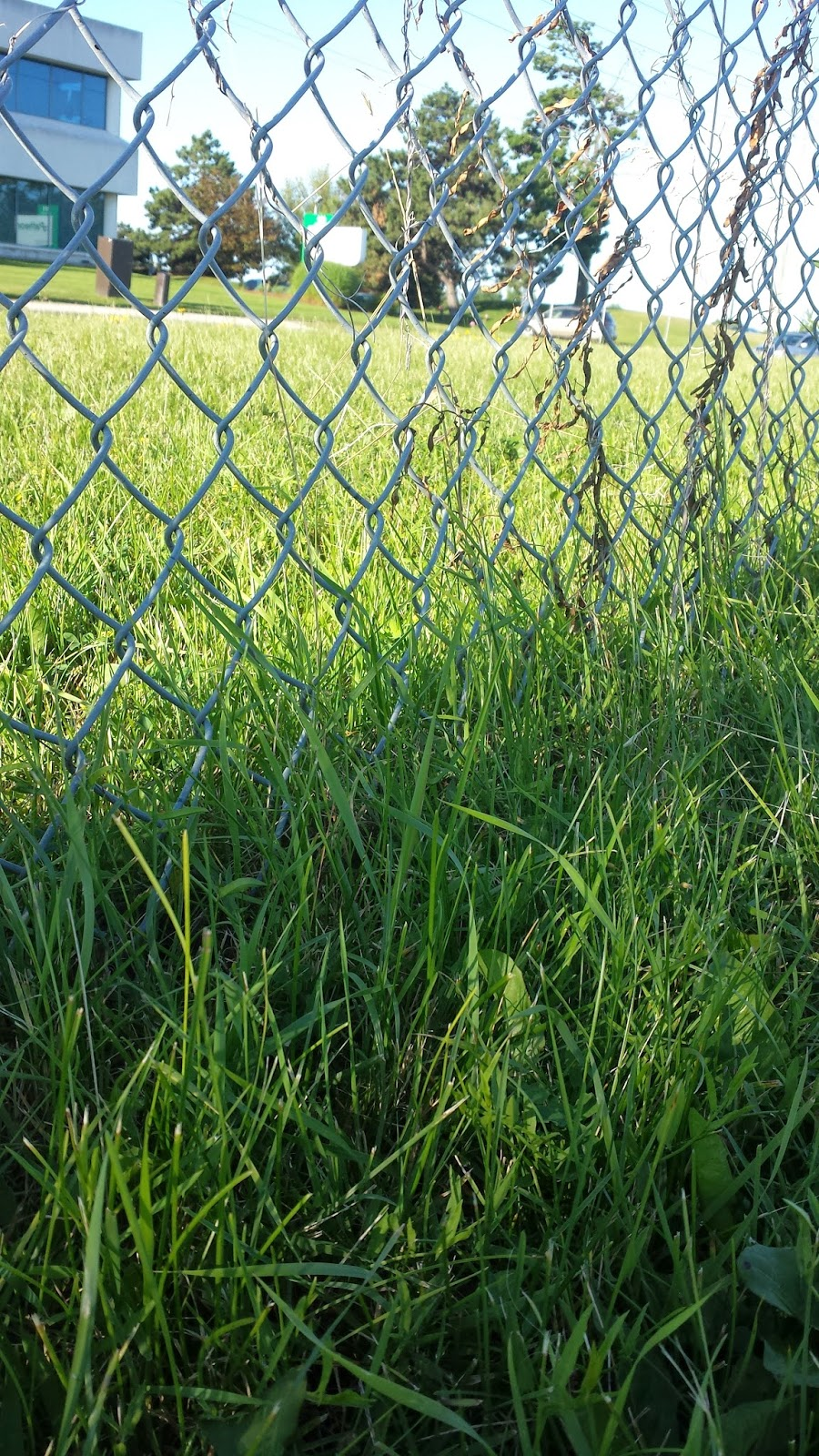 Grass growing up through a chain-link fence